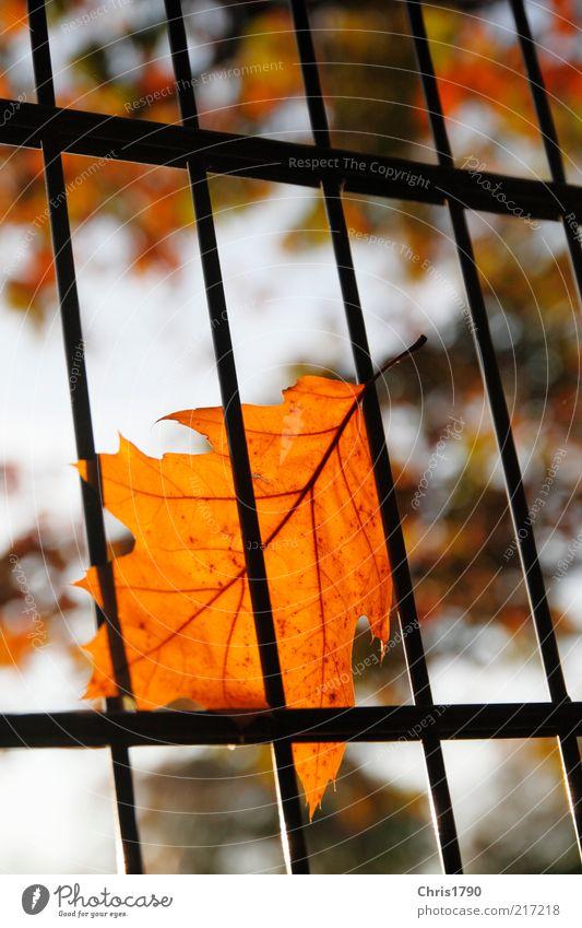 Herbst-Haft Natur Himmel Pflanze Blatt Gefühle Traurigkeit Umwelt gold Perspektive Hoffnung Sicherheit bedrohlich Schutz Sehnsucht Zaun