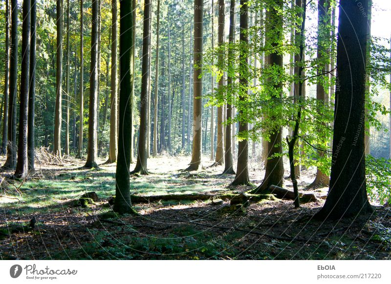 Lichtung im Wald Natur Erde Sonnenlicht Herbst Schönes Wetter Baum authentisch groß Sonnenstrahlen Waldboden Schatten Farbfoto Außenaufnahme Menschenleer Tag