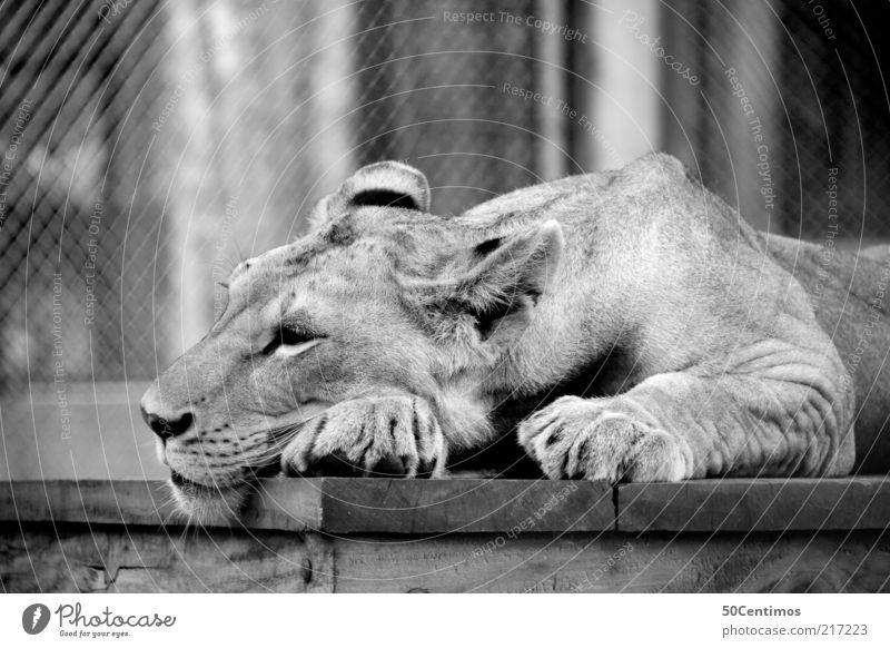 Löwin Zufriedenheit Erholung Wildtier Katze Krallen Pfote Zoo Streichelzoo 1 Tier liegen schlafen schön wild schwarz weiß Stimmung ruhig bequem Einsamkeit