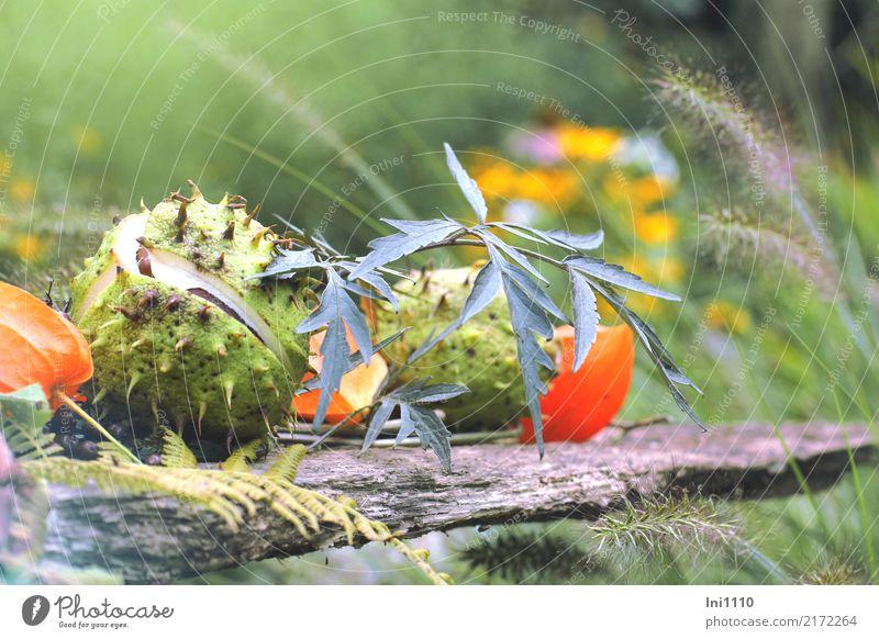 Kastanien Natur Pflanze Herbst Schönes Wetter Garten Park schön braun gelb grau grün violett orange schwarz Physalis Holunderblatt Gras Gräserblüte herbstlich