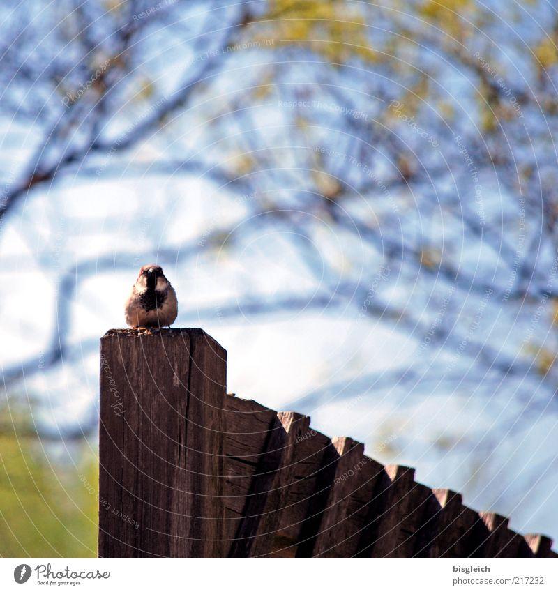 Zaun-König Vogel Meisen 1 Tier Holz sitzen blau Wachsamkeit Zaunpfahl Zaunkönig Farbfoto Schwache Tiefenschärfe Holzpfahl Zweige u. Äste Textfreiraum oben