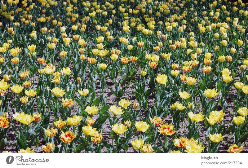 Tulpenfeld II Blatt Blüte gelb grün Blume Blumenwiese Farbfoto Gedeckte Farben Außenaufnahme Tag Menschenleer Strukturen & Formen viele Tulpenblüte