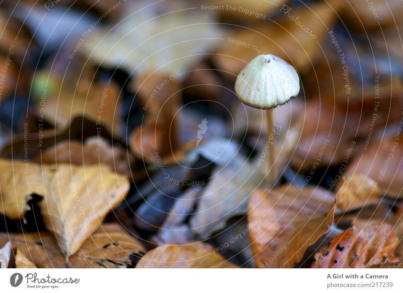 klein und fein Umwelt Natur Pflanze Herbst Blatt stehen einfach mehrfarbig weiß Pilz Pilzhut Einsamkeit Waldboden Herbstlaub Wandel & Veränderung
