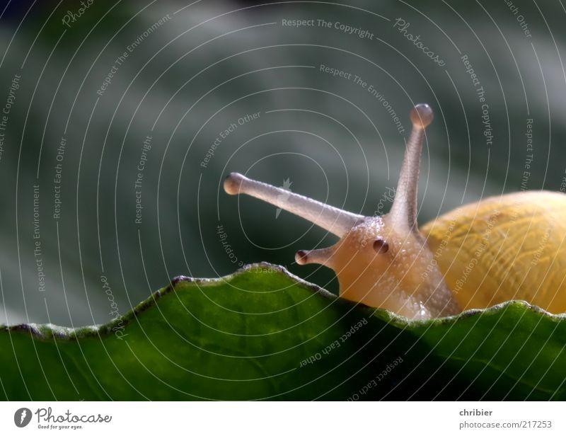 Ich seh Dich! Sommer Pflanze Blatt Schnecke Fühler Schleim 1 Tier beobachten berühren Bewegung Fressen glänzend nah Neugier niedlich schleimig achtsam ruhig