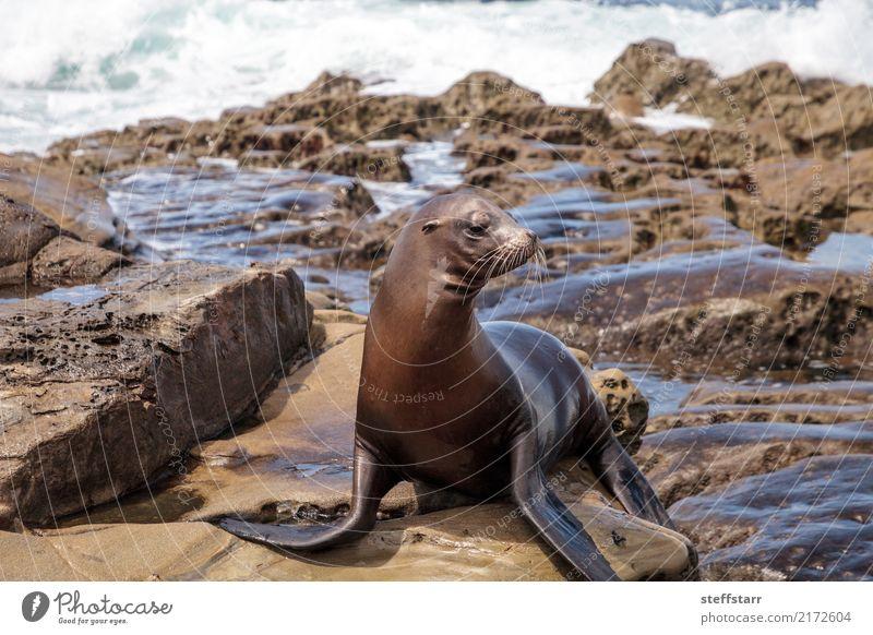 Kalifornischer Seelöwe Zalophus californianus Spielen Felsen Wellen Küste Strand Meer Tier Wildtier 1 Stein Wasser sitzen blau braun