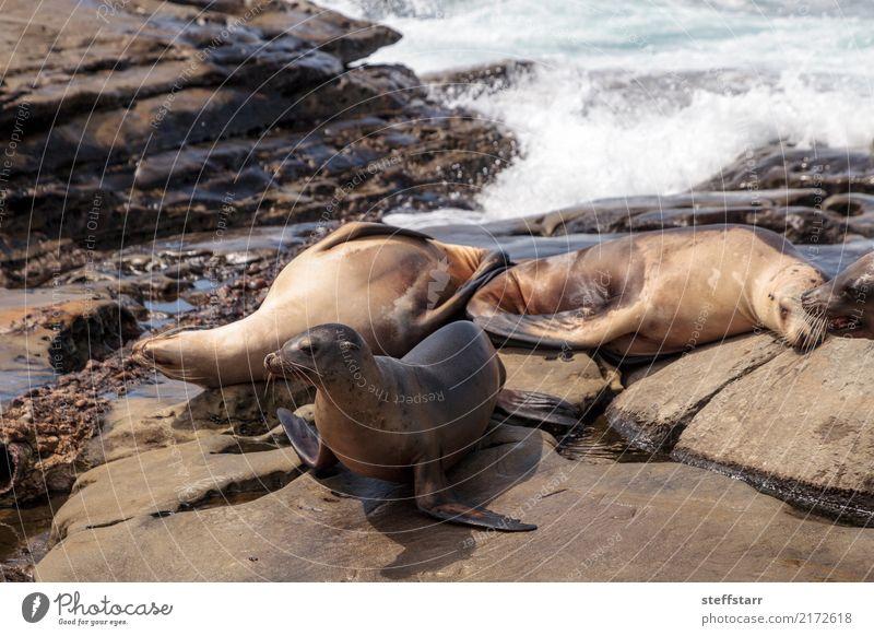 Kalifornischer Seelöwe Zalophus californianus Spielen Felsen Wellen Küste Strand Meer Tier Wildtier 4 Stein Wasser schlafen blau braun
