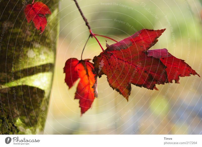 roter oktober Natur Baum grün rot Blatt Herbst Wandel & Veränderung Baumstamm Schönes Wetter Herbstlaub Ahorn knallig purpur herbstlich Herbstfärbung