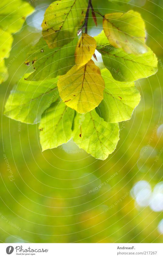 Herbstgrün Natur Baum Pflanze Blatt Umwelt leuchten Zweig Textfreiraum Herbstlaub herbstlich Oktober Buche hellgrün Blätterdach