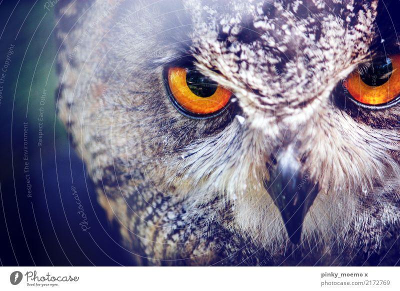 Fokussiert. Auge Natur Tier Wildtier Vogel Tiergesicht Zoo 1 Jagd Aggression ästhetisch Eulenvögel Schnabel bernsteinfarben fokussieren Metallfeder Farbfoto