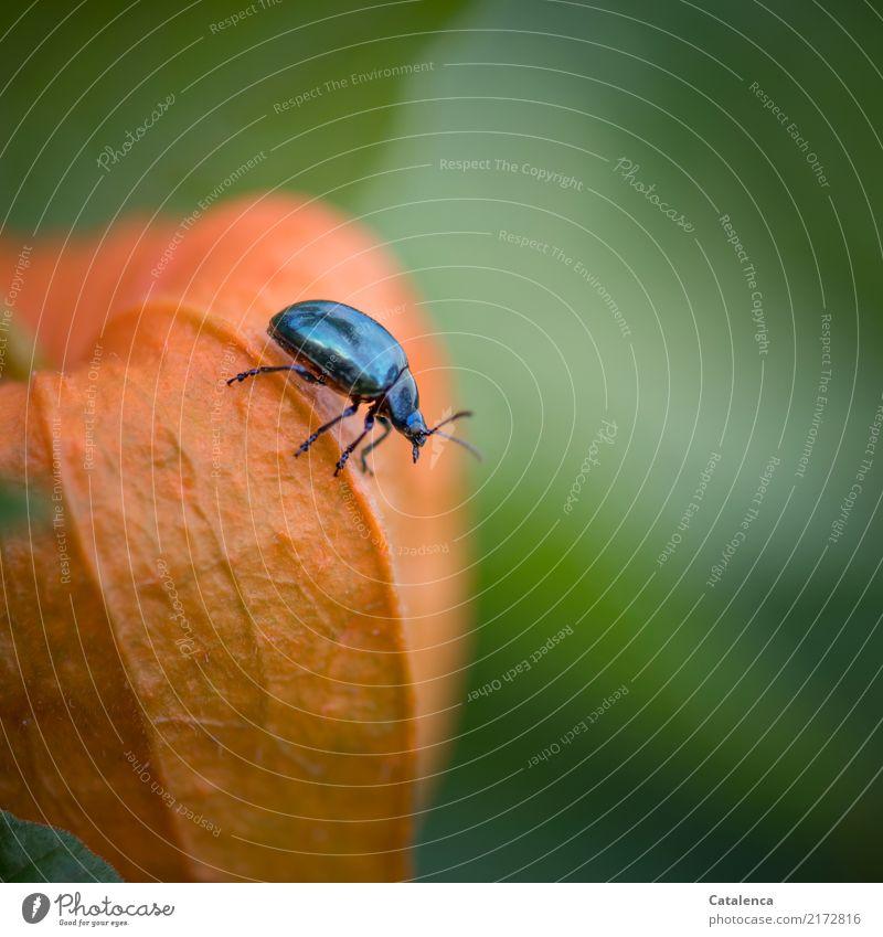 Umherkrabbeln Natur Pflanze blau schön grün Tier Umwelt Herbst Garten orange Frucht glänzend Wachstum ästhetisch Sorge Käfer