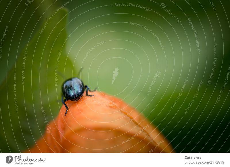 Auf Erkundung Natur Pflanze Tier Blatt Physalis Garten Käfer Himmelblauer Blattkäfer Schädlinge 1 krabbeln verblüht Wachstum grün orange schwarz gefährlich
