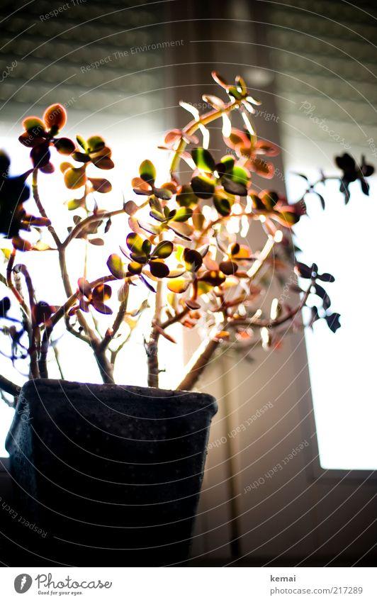Robuste Topfpflanze Blume grün Pflanze rot Blatt Fenster hell Raum Wohnung Wachstum Dekoration & Verzierung Häusliches Leben Wohnzimmer Blumentopf Fensterbrett