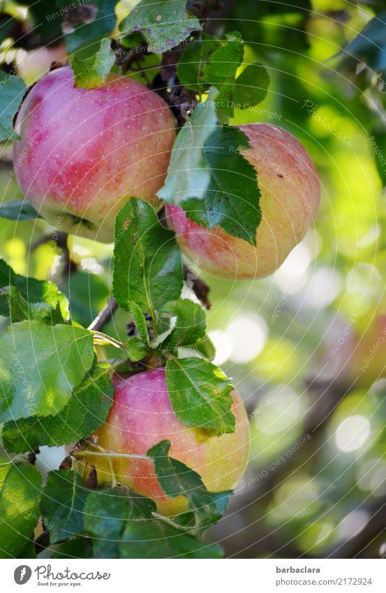 bald... Frucht Apfel Herbst Klima Baum Blatt Apfelbaum Zweige u. Äste Garten Essen hängen frisch Gesundheit rund saftig grün rot Farbe genießen Natur Umwelt