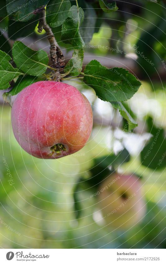 Erntezeit Frucht Apfel Herbst Baum Apfelbaum Zweige u. Äste Garten Essen genießen hängen rund saftig grün rot Lebensfreude Gesundheit Natur Umwelt Farbfoto