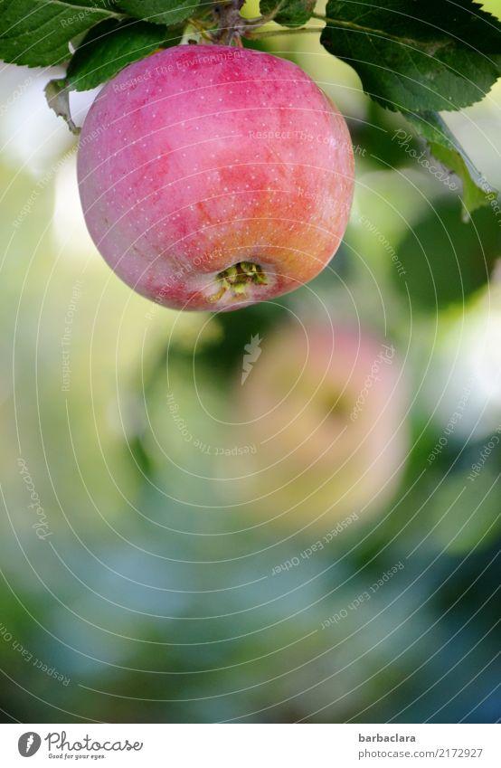 Jahreszeiten   Apfelzeit im Herbst Frucht Sonnenlicht Klima Baum Blatt Nutzpflanze Garten frisch Gesundheit rot Natur Farbfoto Außenaufnahme Nahaufnahme
