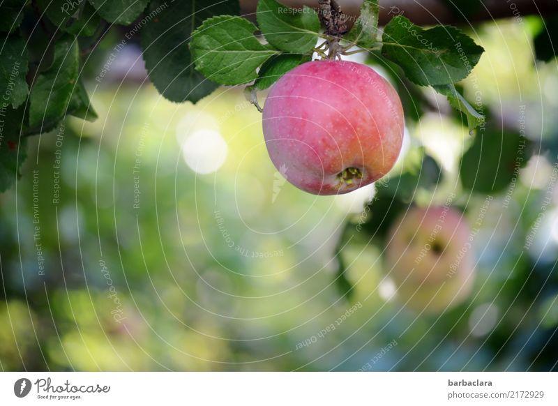 Nullachtfünfzehn | Apfel am Baum Frucht Pflanze Herbst Blatt Nutzpflanze Apfelbaum Garten hängen frisch Gesundheit rot Farbe Klima Natur Umwelt Farbfoto