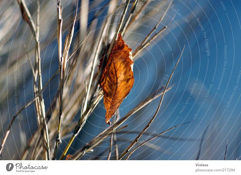 A little smaller version Himmel blau Pflanze Blatt Herbst Luft braun Wandel & Veränderung Vergänglichkeit hängen Zweig einzeln Herbstlaub welk herbstlich