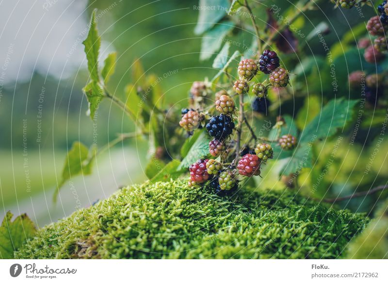 Beeren überall Lebensmittel Frucht Ernährung Bioprodukte Vegetarische Ernährung Umwelt Natur Pflanze Herbst Sträucher Blatt Wildpflanze Garten Wiese Feld lecker