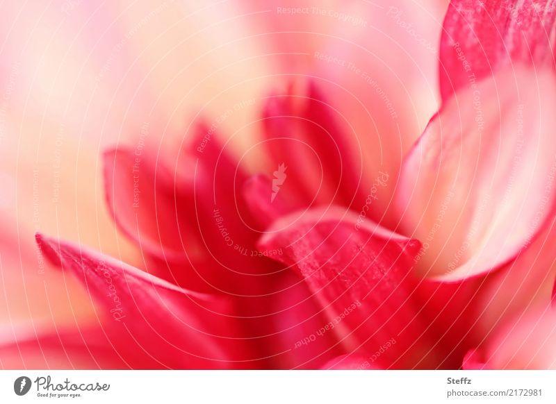 Dahlien-Farbpalette XI Natur Pflanze Sommer schön Blume rot Blüte Herbst Garten rosa Blühend einzigartig Romantik Blütenblatt Blütenpflanze Herbstbeginn