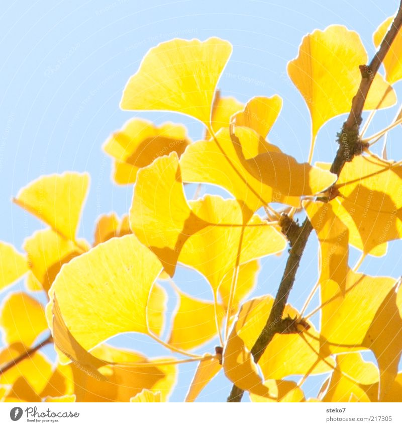 ginko-gelb blau Blatt hell Wandel & Veränderung leuchten Zweig Herbstlaub dehydrieren Ginkgo Herbstfärbung Warmes Licht