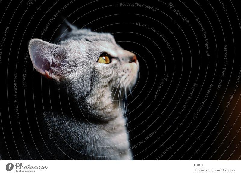 Cat Katze Tier Tierjunges Haustier Tiergesicht