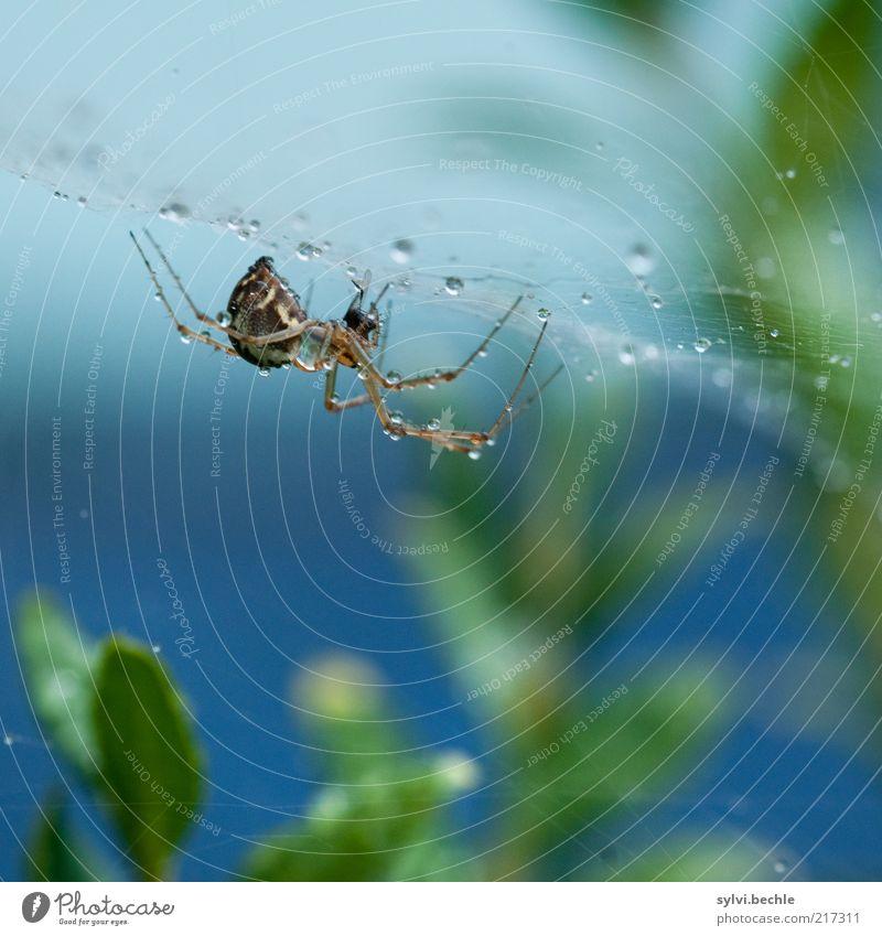 spiderman Natur Pflanze Tier Wasser Wassertropfen schlechtes Wetter Regen Sträucher Spinne festhalten klein blau grün Ausdauer standhaft Netz Spinnennetz