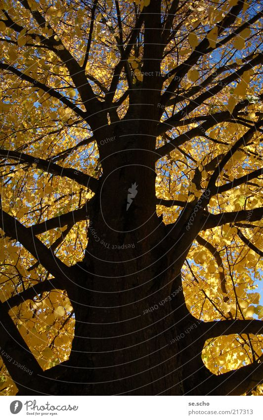 Herbstbaum Natur Himmel Baum Pflanze Farbe Wald Wachstum Vergänglichkeit Ast Herbstlaub herbstlich Herbstfärbung Herbstbeginn