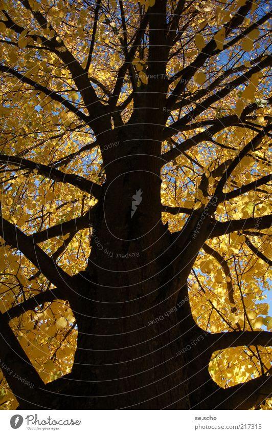 Herbstbaum Natur Himmel Baum Pflanze Farbe Wald Herbst Wachstum Vergänglichkeit Ast Herbstlaub herbstlich Herbstfärbung Herbstbeginn