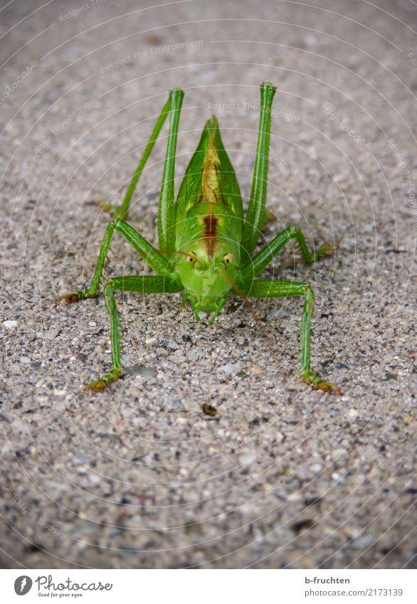 Hallo Du! Straße Tier 1 Blick Aggression ästhetisch grün Heuschrecke Insekt Pflastersteine Boden Fühler Natur Umwelt Farbfoto Detailaufnahme Makroaufnahme