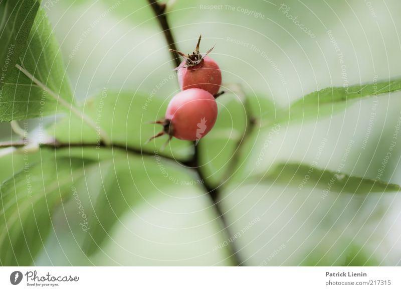 [HH10.1] - wo war das denn? Umwelt Natur Pflanze Herbst Grünpflanze Wildpflanze Frucht Zweig matt grün rot Samen Gedeckte Farben Außenaufnahme Nahaufnahme