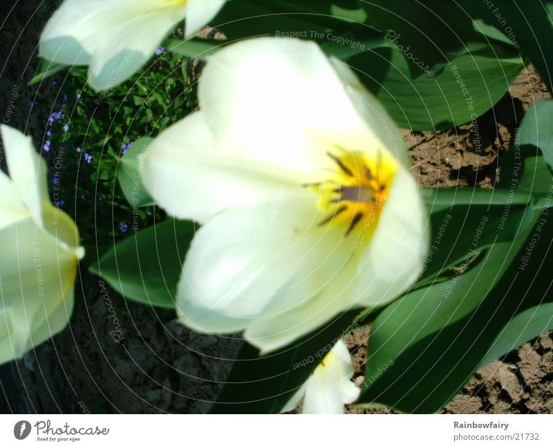Tulpe gelb Blume Garten