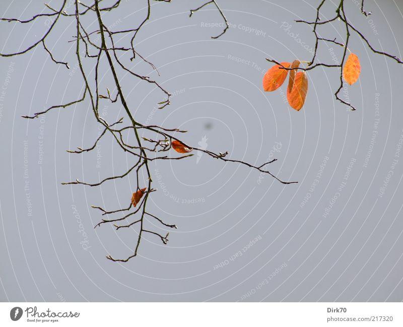 Herbstlaub, schon spärlich Pflanze Blatt Ast Zweig Felsenbirne hängen verblüht dehydrieren Wachstum braun grau rot Tod Abschied Verfall Vergänglichkeit