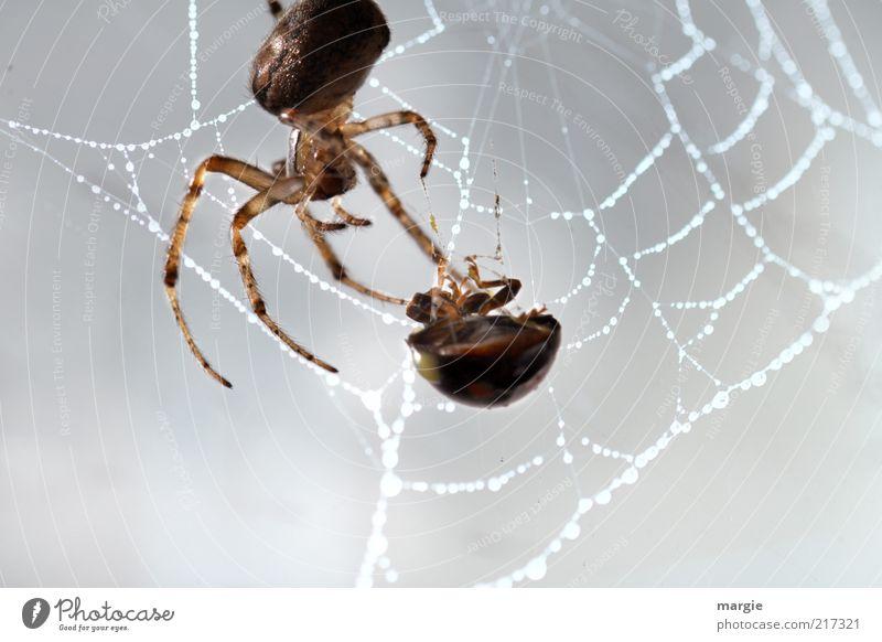 Mahlzeit! Natur Tier Käfer Spinne Netzwerk Spinnennetz Ernährung gefangen festhalten Fressen krabbeln Aggression gruselig stark Kraft Macht Tod Angst Todesangst