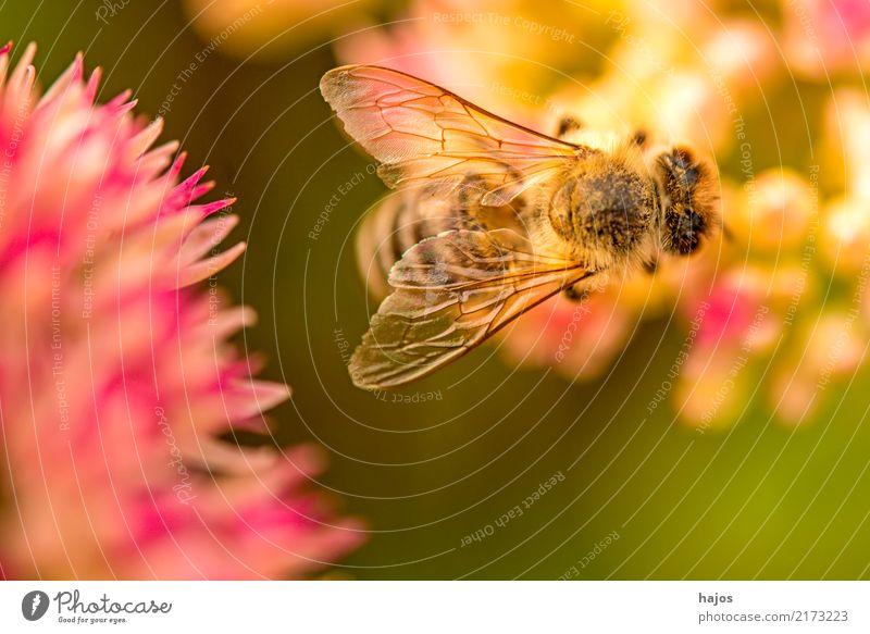 Biene auf großer Fetthenne schön Natur Pflanze Tier Blüte leuchten grün rosa Romantik Apis mellifera Insekt Große Fetthenne telephium Strahlen sonnig