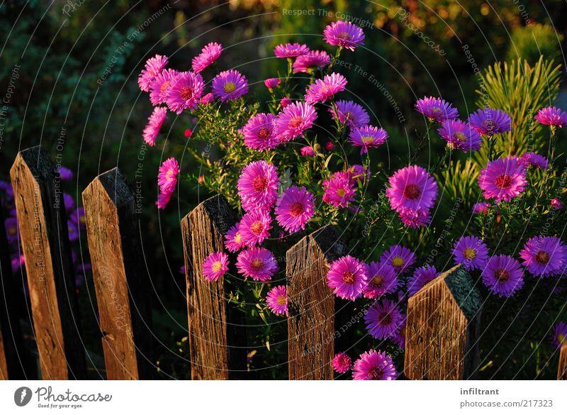Blumen über'n Gartenzaun Natur Pflanze Sommer Herbst Blüte ästhetisch natürlich violett rosa schön ruhig Leben Reinheit Stimmung Umwelt Zaun Farbfoto