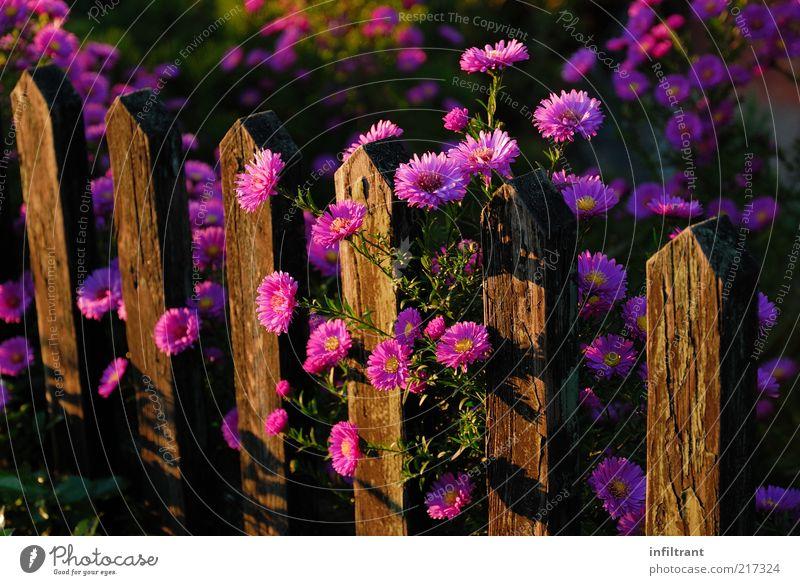 Blumen über'n Gartenzaun 2 Umwelt Natur Pflanze Sommer Herbst Blüte ästhetisch Duft natürlich violett rosa ruhig Leben Zaun Farbfoto mehrfarbig Außenaufnahme