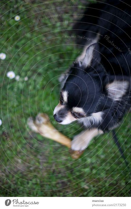 Chihuahua Tier Haustier Hund 1 niedlich Tierliebe Hundeknochen Farbfoto Außenaufnahme Tag Kontrast Schwache Tiefenschärfe Tierporträt