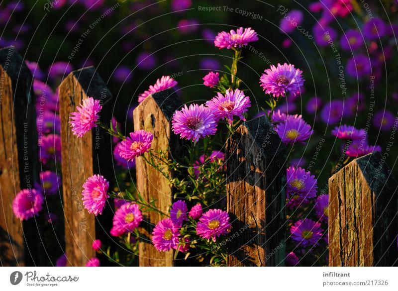 Blumen über'n Gartenzaun 3 Natur schön Pflanze Sommer ruhig Farbe Leben Herbst Blüte Stimmung rosa Umwelt ästhetisch violett