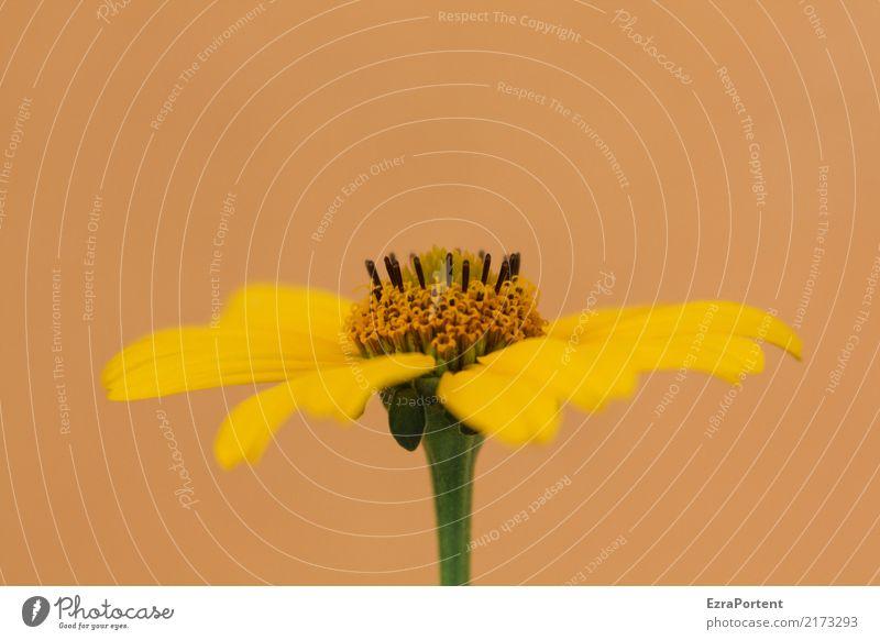 B Umwelt Natur Pflanze Blume Blüte Garten natürlich gelb orange Farbe Blütenblatt Blütenstempel Sonnenbraut helenium Stauden Farbfoto Außenaufnahme Nahaufnahme