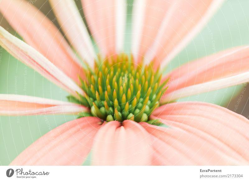 S Umwelt Natur Pflanze Blume Blüte Garten ästhetisch hell natürlich grün rosa Farbe Sonnenhut Blütenblatt Blütenstempel zart Anschnitt Botanik Farbfoto