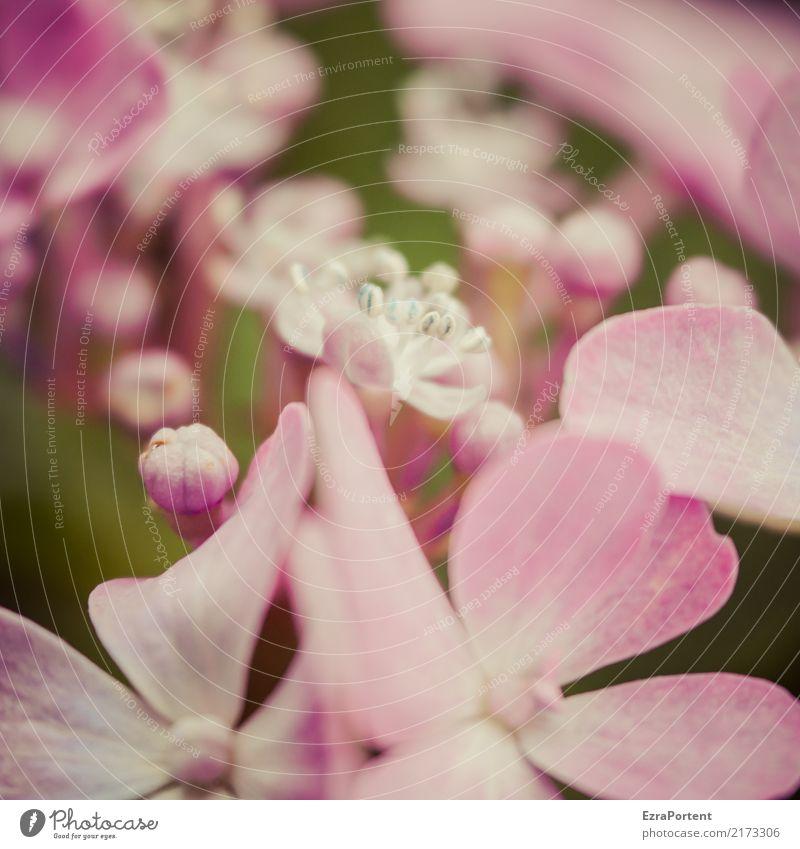 h Umwelt Natur Pflanze Blume Blüte Garten natürlich rosa ästhetisch Farbe Hortensie Hortensienblüte Blütenknospen Blütenblatt Unschärfe Botanik Farbfoto