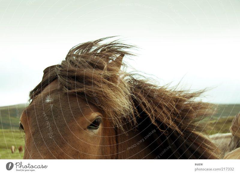 Geschwind wie der Wind schön Tier braun Wetter wild Wildtier authentisch Pferd Freundlichkeit Island tierisch Ponys Mähne Pferdekopf Island Ponys
