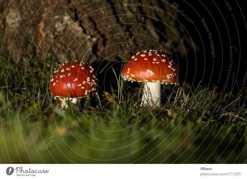 FLY agaric Freundschaft 2 Mensch Natur Erde Baum Gras dunkel groß klein rot weiß Fliegenpilz Punkt halbdunkel Baumrinde Pilz Boden Größe Größenunterschied