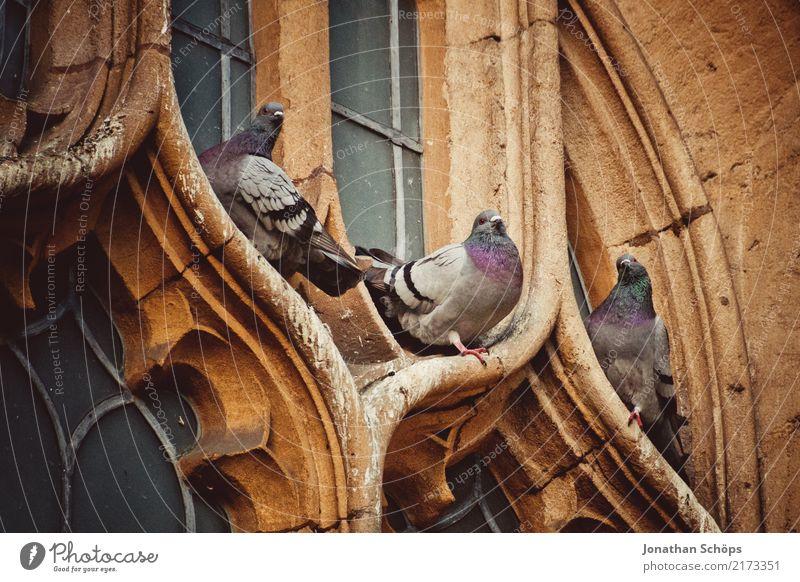 Tauben an einem Kirchenfenster in Oxford Stadtzentrum Altstadt Tier Vogel 3 ästhetisch England alt historisch Historische Bauten Englisch Großbritannien sitzen