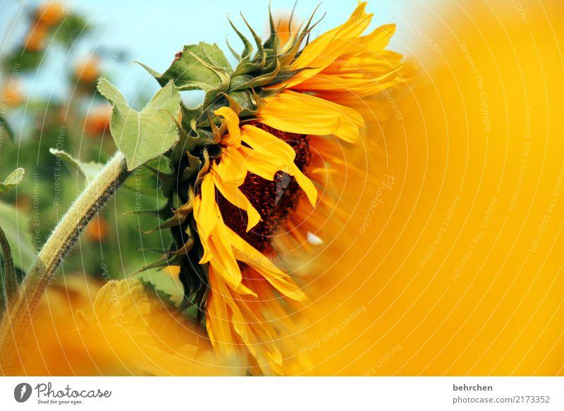sonniges wochenende... Himmel Natur Pflanze Sommer schön Blume Blatt Wärme gelb Blüte Wiese Garten Park leuchten Feld Kraft