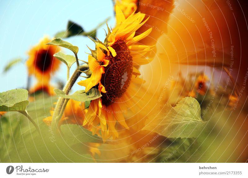 sonnengruß Himmel Natur Pflanze Sommer schön Sonne Blume Blatt gelb Blüte Wiese Garten orange Park leuchten Feld