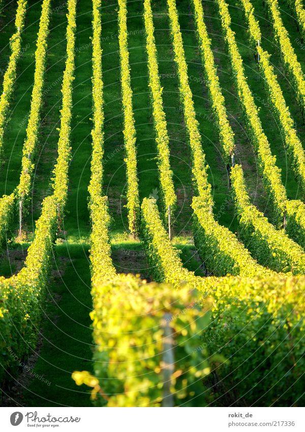 Zeile für Zeile Landschaft Schönes Wetter Nutzpflanze Feld Weinberg Unendlichkeit gelb gold grün Weinlese Rheingau Ernte Berghang Herbst Menschenleer Abend