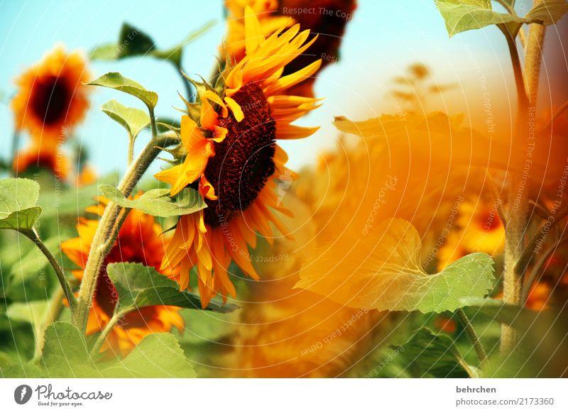 sonne für euch:) Natur Pflanze Sommer schön Sonne Blume Blatt Wärme gelb Blüte orange leuchten Feld fantastisch Schönes Wetter Blühend
