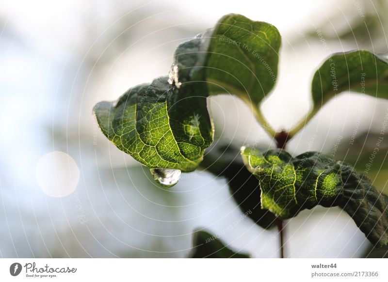 Duftjasmin Pflanze Wassertropfen Wetter schlechtes Wetter Regen Sträucher Blatt Grünpflanze Garten nass grün Farbfoto Außenaufnahme Nahaufnahme Tag