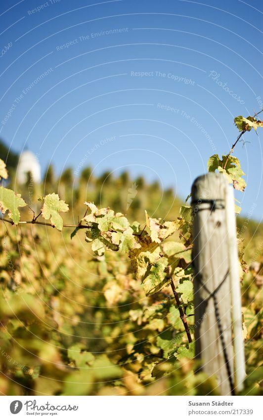 Riesling Herbst Garten Feld frisch Wein Hügel Ernte Schönes Wetter Sachsen Weinberg Weinlese Landwirtschaft herbstlich Holzpfahl Wolkenloser Himmel